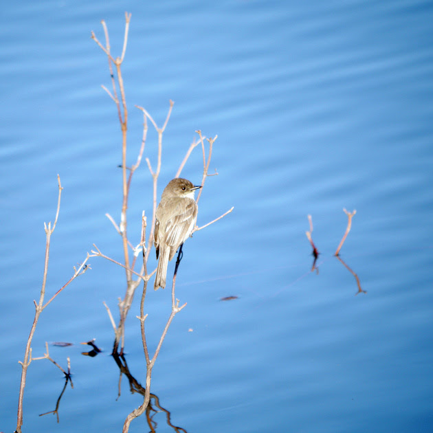Ed Gaillard: birds &emdash; Eastern Phoebe, Turtle Pond
