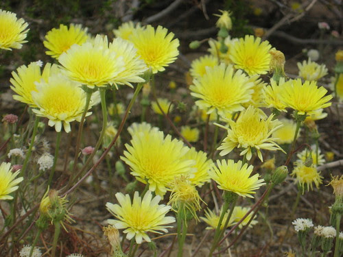 desert yellows