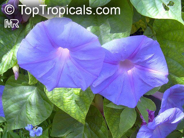 http://toptropicals.com/pics/garden/m1/sinije/ipomoea040.jpg