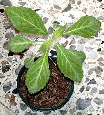 Español: Salvia Divinorum cultivada en Medelli...