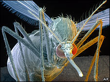 Mosquito A. aegypti