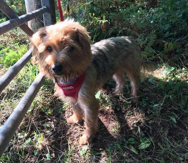 Buck – 1 year old male Yorkshire Terrier
