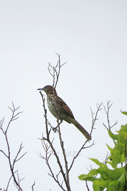 IMG_7885BrownThrasher