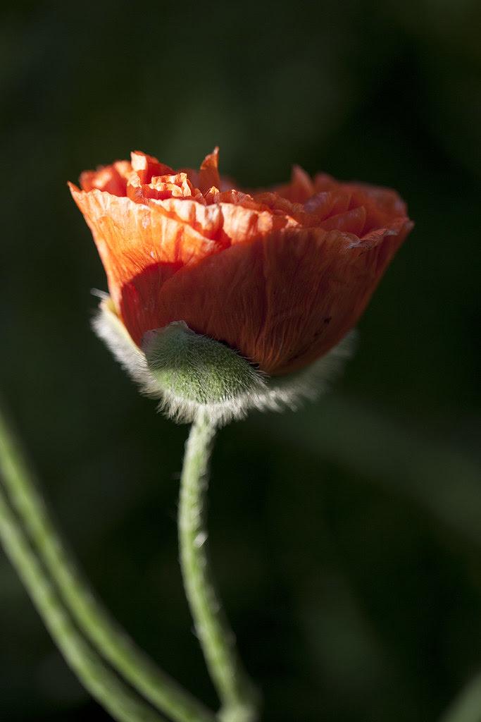 poppy newly bloomed