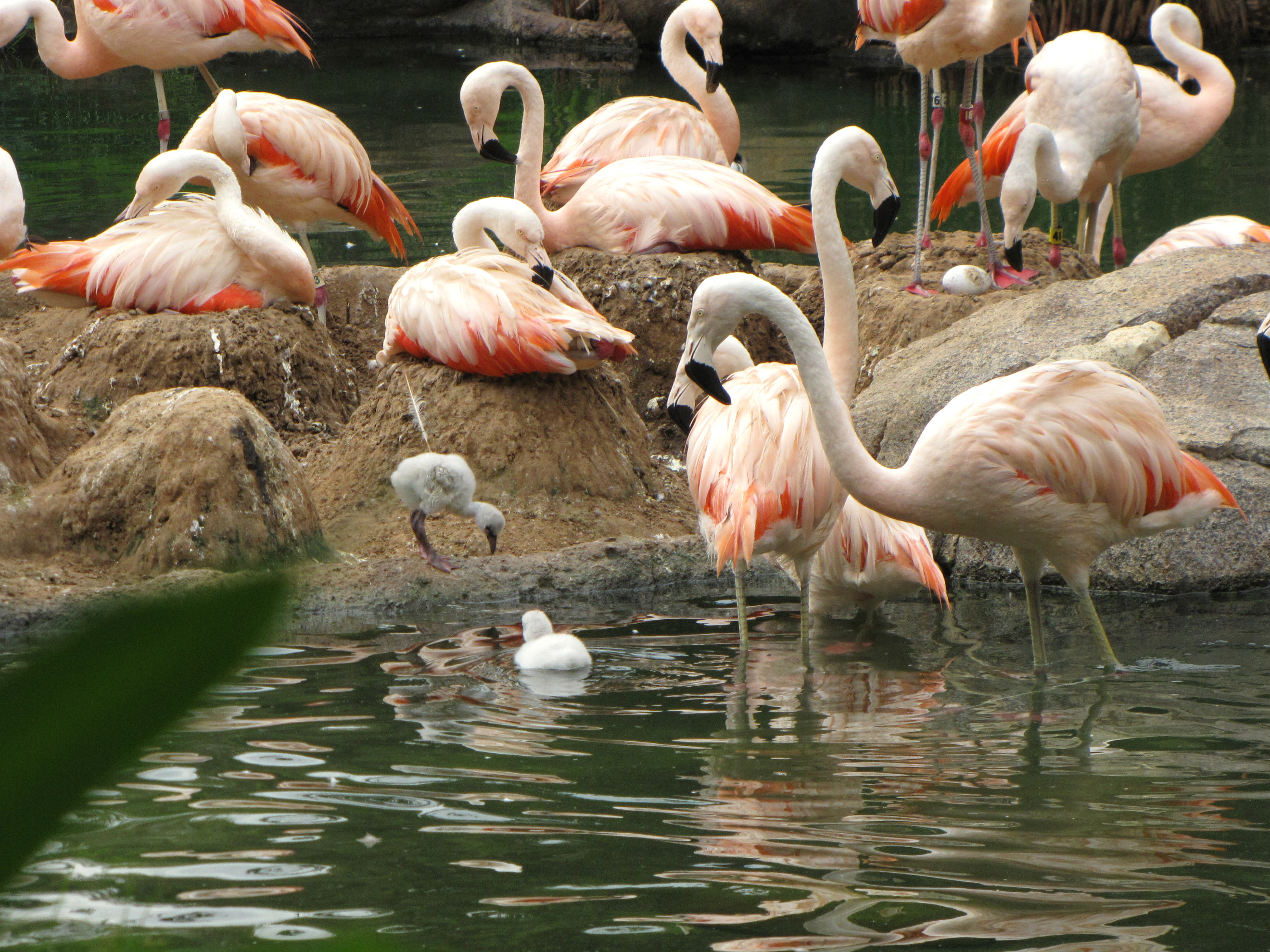 Chilean Flamingo Chicks