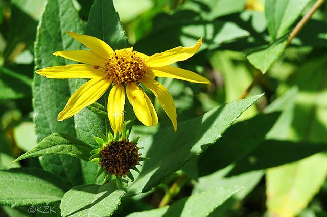 IMG_8302Sunflowers
