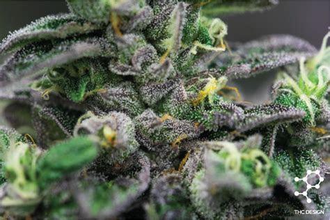 Ice Cream Cake   Cannabis Strains   THC Design Cannabis