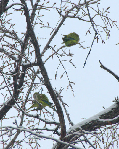 Brooklyn Parrots in Snowy American Elm