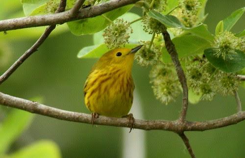 Yellow Warbler - 4/30/2010