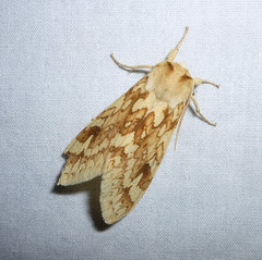 yellow-spotted tiger moth
