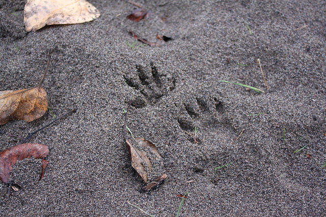 animal tracks, kelley point