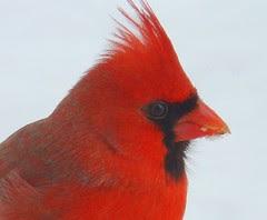 Close up icy cardinal