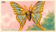 papillon 012