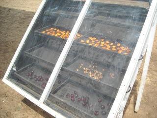Apricot Halves and Pits in Solar Food Dehydrator