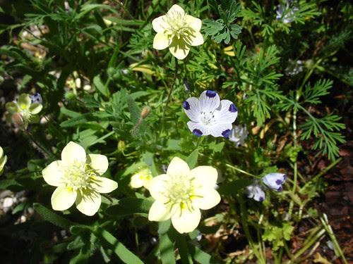 Platystemon californicus + Nemophila maculata