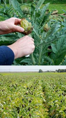 cultivo de alcachofas
