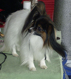 Papillon Large Butterfly Ears Breeds