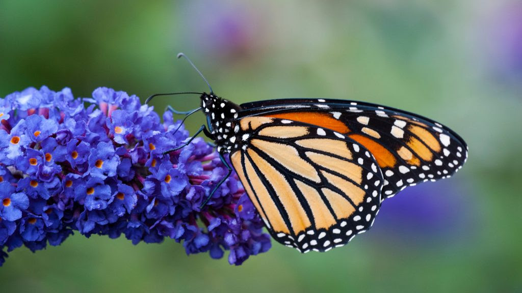 High Resolution Picture of Monarch Butterfly on Flower ...