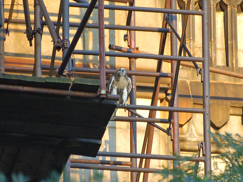 Red-Tail and Scaffolding