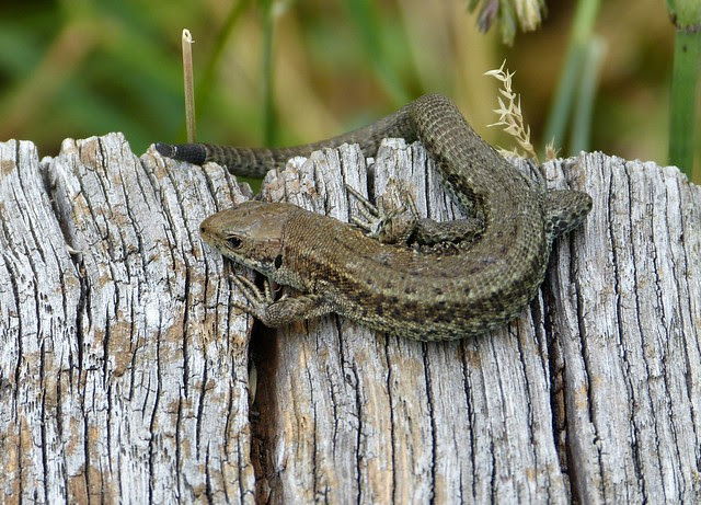 27502 - Common Lizard, WWT London