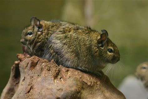 File:Octodon degus BG   Wikipedia