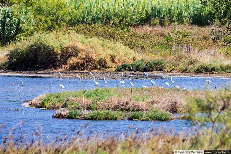 Цапли на озере Кориссион (Корфу)