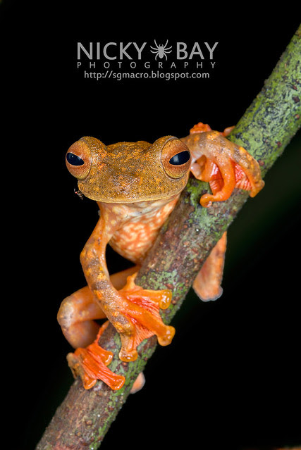 Harlequin Flying Frog (Rhacophorus pardalis) - DSC_8938c