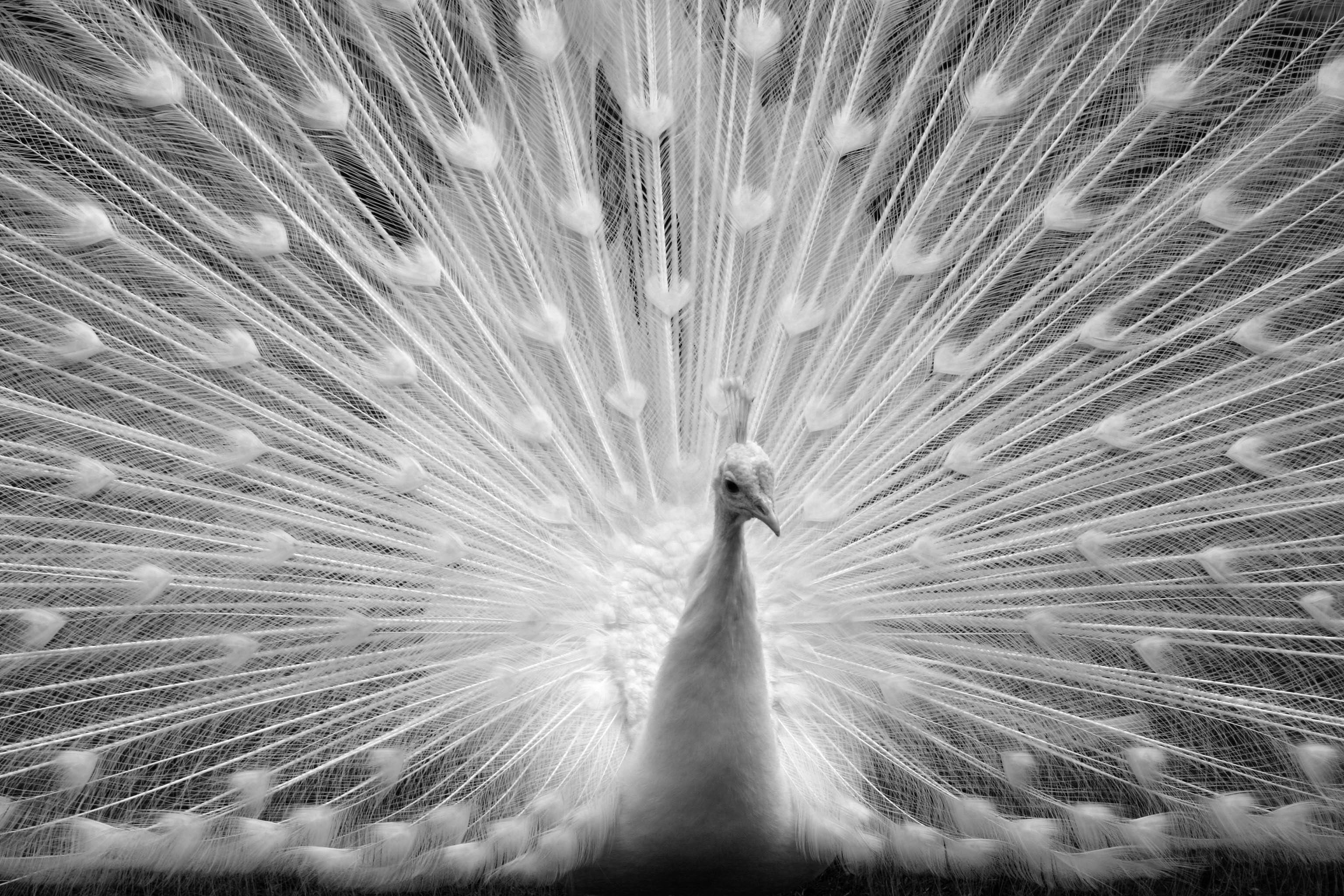 A Beautiful Peacock Life As A Human