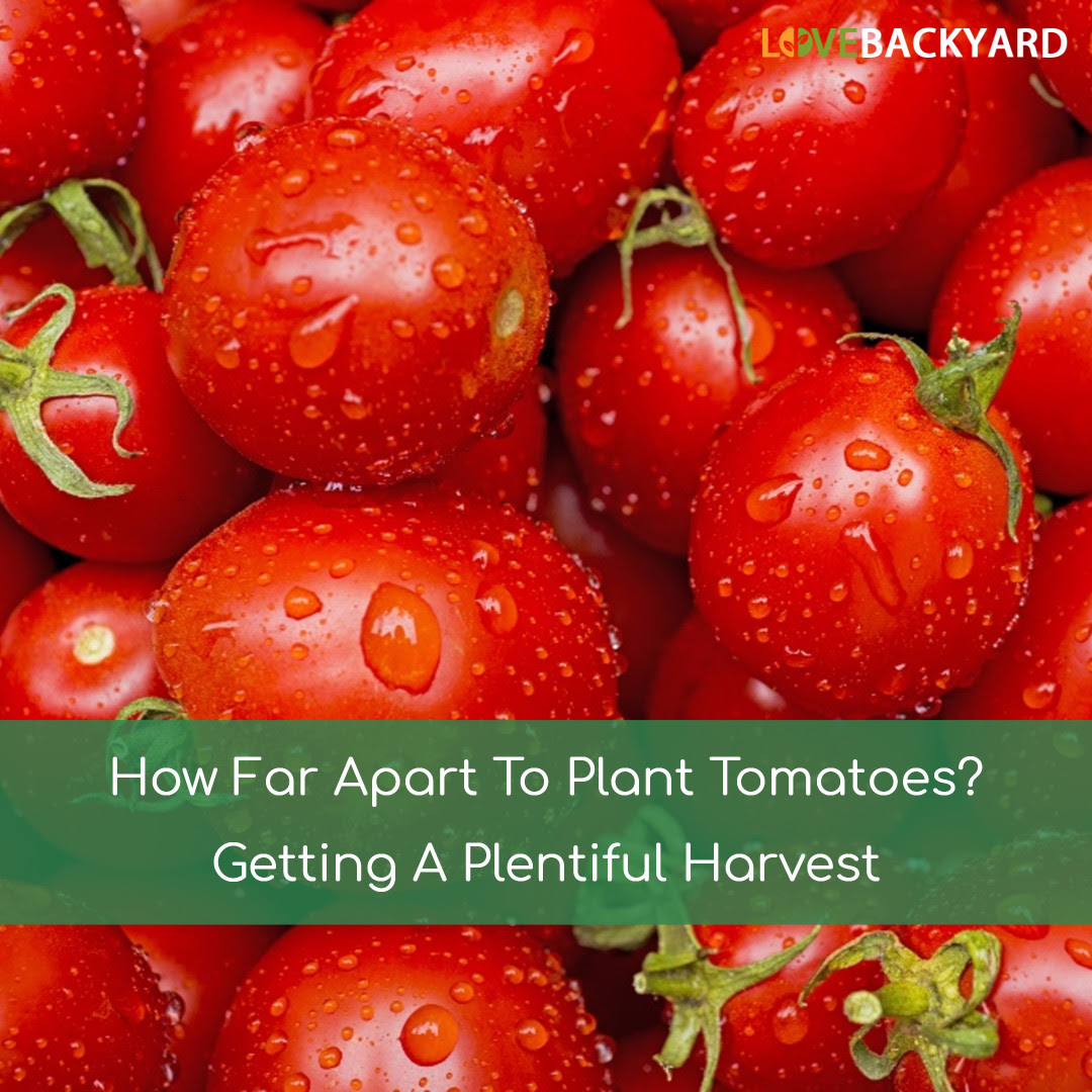 How Far Apart To Plant Tomatoes? Getting A Plentiful ...