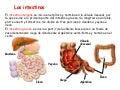 Los intestinos