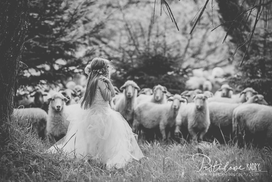 sesja owce
