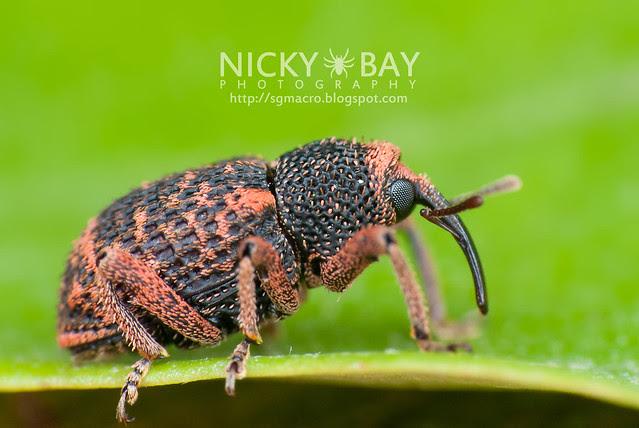 Weevil (Curculionidae) - DSC_2851