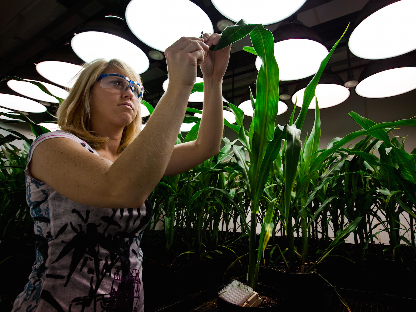 Monsanto Scientist Corn Plant