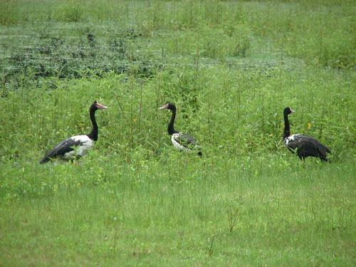 Magpie Geese Knuckey's Lagoon