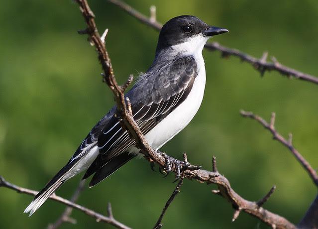 Eastern Kingbird best