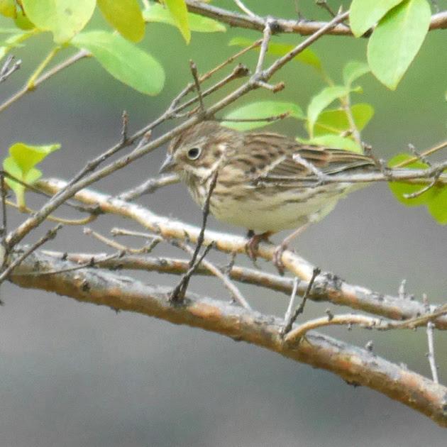 Ed Gaillard: birds &emdash; Vesper Sparrow, Central Park