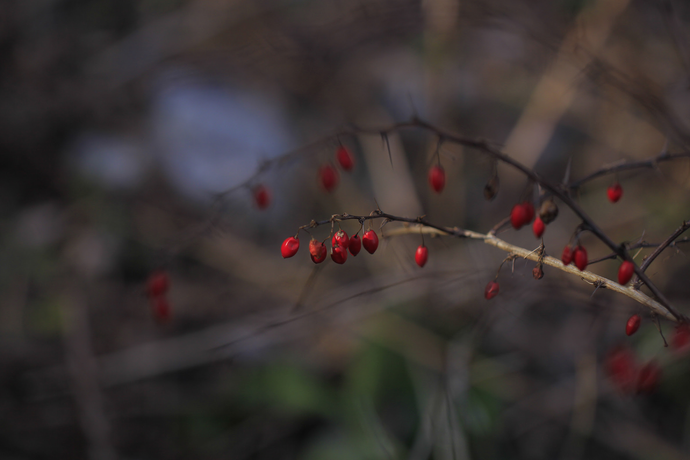 hawthorn berries in the wind