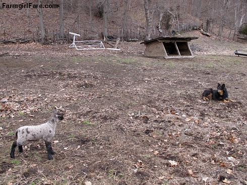 Curious little lambs (8) - Mom! I think I see a Bear! - FarmgirlFare.com