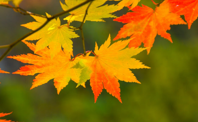 maple-leaves