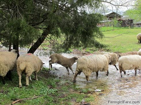 (25-2) Leaping lambie - FarmgirlFare.com