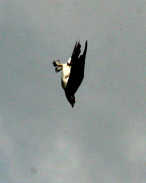 Osprey Diving 2-20091028