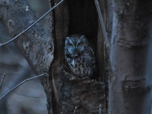 North Woods Screech Owl