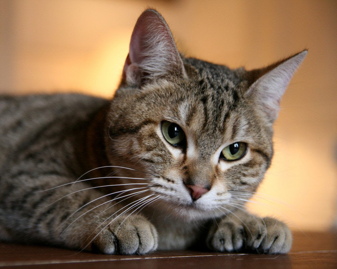 Top 10 Best Cat Breeds In The World Top 10