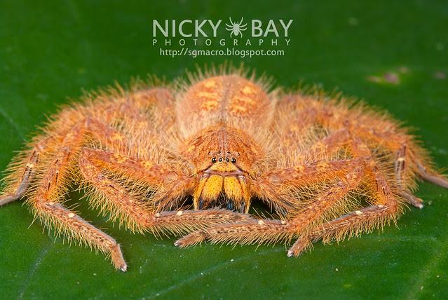 Huntsman Spider (Sparassidae) - DSC_5843