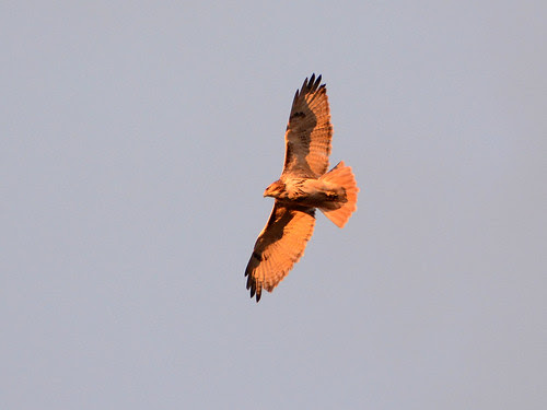 Adult Red-Tailed Hawk (6210)