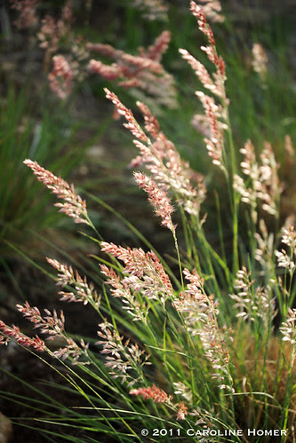 'Ruby Crystals' grass