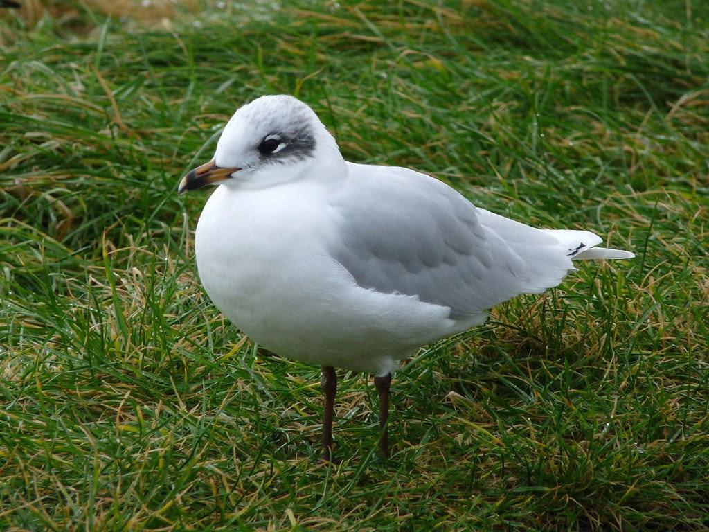 23815 - Mediterranean Gull, Bracelet Bay