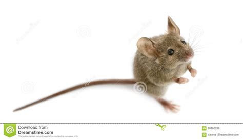 Wood Mouse In Front Of A White Background Stock Photo   Image of nobody, stand: 60160286