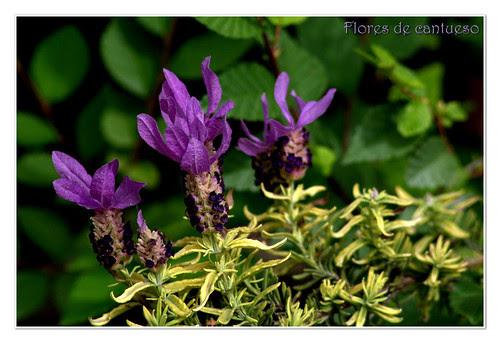 flores de cantueso