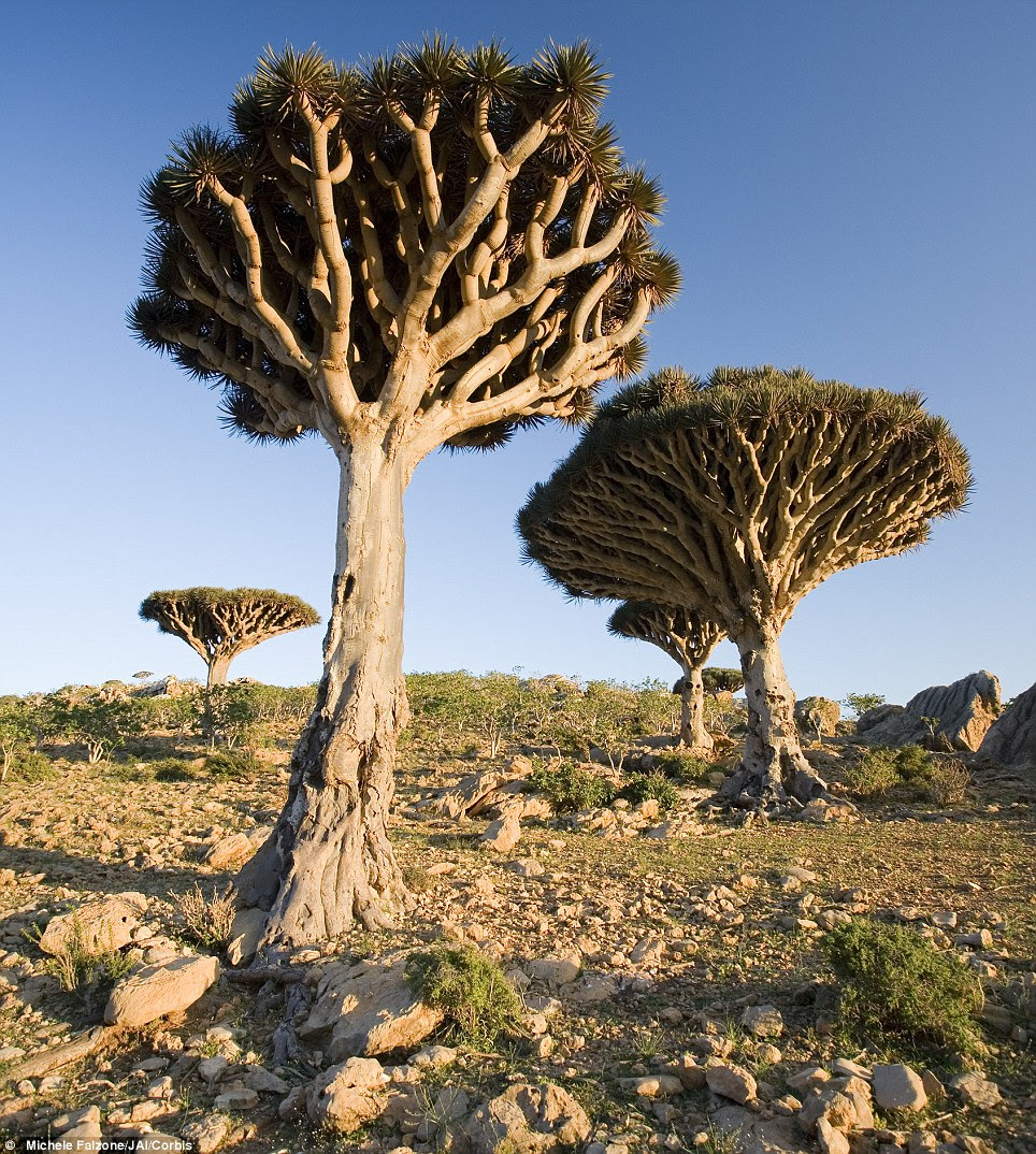 A dragonblood tree in the Homil Plateau, Socotra Island, Yemen. It gets its name from the red sap that the trees produce